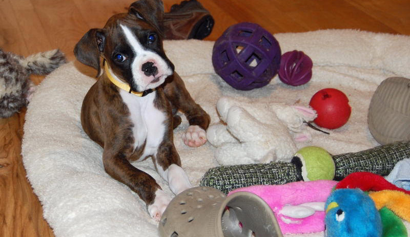TADD Boxer Puppies
